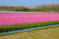 Tulips field with plethora number of pink on bollenstreek in netherlands Stock Photo