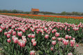 Tulips field with plethora number of pink red and orange on bollenstreek in netherlands Stock Photo