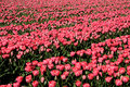 Tulips field with plethora number of red on bollenstreek in netherlands Stock Photos