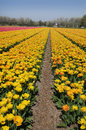 Tulips field with plethora number of yellow and pink on bollenstreek in netherlands Stock Photo