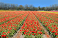 Tulips field with red on bollenstreek in netherlands Royalty Free Stock Photography