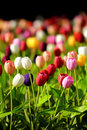 Tulips flower colorful Royalty Free Stock Images