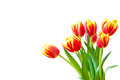 Tulips flowers bouquet of red and yellow isolated on white background fresh spring Royalty Free Stock Photos