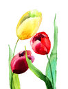 Tulips flowers colorful watercolor painting Stock Image