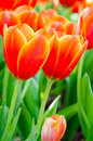 Tulips flowers in the garden Royalty Free Stock Image