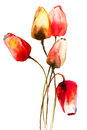 Tulips flowers red watercolor illustration Royalty Free Stock Photography