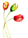Tulips flowers red watercolor painting Royalty Free Stock Photography