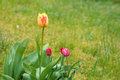 Tulips. fresh tulips. beautiful red yellow tulip flower in the garden Royalty Free Stock Photo