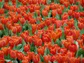 Tulips in full bloom Stock Photo
