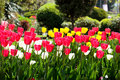 Tulips in garden Stock Image