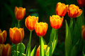 Tulips in the garden. Royalty Free Stock Photo