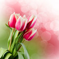 Tulips.  Gift Card. Royalty Free Stock Photo