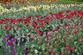 Tulips Grow On A Fields Beds