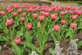 Tulips these growing in a botanical garden in kiev Royalty Free Stock Photography