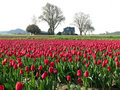 Tulips Homestead Stock Images