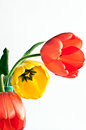 Tulips Isolated on white background Royalty Free Stock Photo