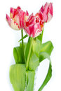 Tulips isolated on a white background Stock Images