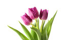 Tulips isolated on white background spring flowers Royalty Free Stock Photos