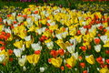 Tulips in keukenhof and flowers netherlands Stock Photos