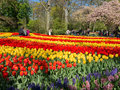 Tulips in Keukenhof, Netherlands Royalty Free Stock Photo