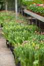 Tulips large group of fresh potted flowers Royalty Free Stock Images