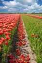Tulips, Lisse Netherlands Royalty Free Stock Photo