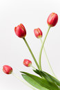 Tulips long stem red with white background Royalty Free Stock Photo