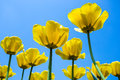 Tulips many yellow with blue sky as background Royalty Free Stock Photo