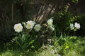 Tulips Mount Tacoma. Royalty Free Stock Photo