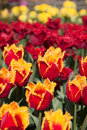 Tulips in Mt. Vernon, Washington Royalty Free Stock Photo