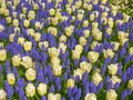 Tulips and muscari white blue Royalty Free Stock Images