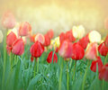 Tulips my flower garden of Stock Photos