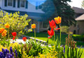 Tulips and other flowers in a residentail garden full of with on the right side houses the background Royalty Free Stock Image