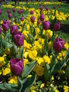 Tulips and pansies purple yellow in flowerbed in a park Stock Images
