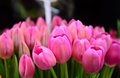 Tulips in a park at melbourne victoria st kilda beach Royalty Free Stock Photo