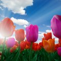 Tulips photo of red and purple tulip field with blue sky and sun Royalty Free Stock Photo