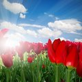 Tulips photo of red tulip field with blue sky and sun Royalty Free Stock Images