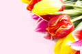 Tulips on a pink background Royalty Free Stock Photo