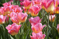 Tulips in pink color Royalty Free Stock Photo
