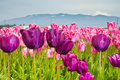 Tulips pink and purple in skagit valley Royalty Free Stock Photo