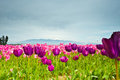 Tulips pink and purple in skagit valley Royalty Free Stock Image