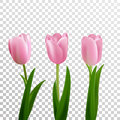 Tulips. Pink vector tulips isolated. Flowers in different shapes