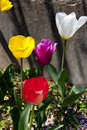 Tulips red yellow purple and white in the spring Royalty Free Stock Photo