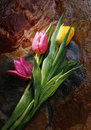 Tulips and rock Royalty Free Stock Photos