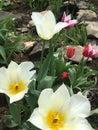 Tulips in rock garden Royalty Free Stock Photo
