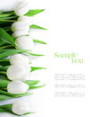 Tulips in a row, isolated on white Royalty Free Stock Photo