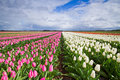 Tulips in rows on a field white and pink Stock Photo