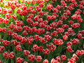 Tulips in the shade red with bright petals Stock Photo