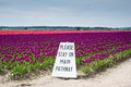 Tulips and sign purple in skagit valley Stock Photo