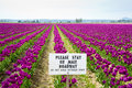 Tulips and sign purple in skagit valley Royalty Free Stock Images